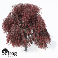 3d weeping european beech europe model