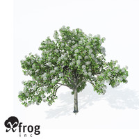 XfrogPlants Wild Service Tree