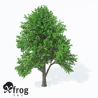 3d european white elm europe