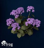 3d hortensia hydrangea sp model
