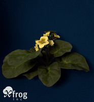 african violet flower plants 3ds