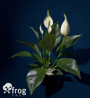 peace lily plants 3d 3ds