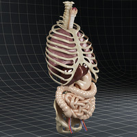 3ds max internal lungs esophagus