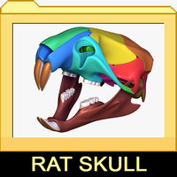 Rat skull with separated bones