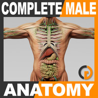 Human Male Anatomy - Body, Muscles, Skeleton, Internal Organs and Lymphatic