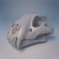 Scan of Tiger Skull