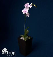 orchid phalaenopsis sp 3ds