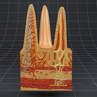 3d model intestinal villi