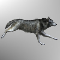 3d model photorealistic wolf canis animation