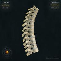 vertebral column thoracic vertebra max