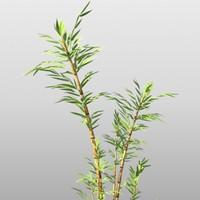 bamboo plants 3d model