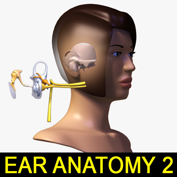 EAR_Anatomy_leo3dmodels_000.jpg