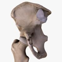 3d model hip bone