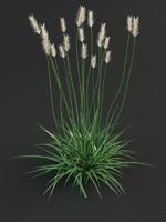 3d agropyron grass
