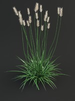 Agropyron grass