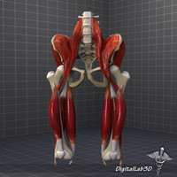 3dsmax human pelvis muscle group