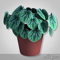 house plant peperomia 3d model