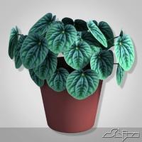 House Plant Peperomia