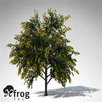 XfrogPlants Golden Shower Tree