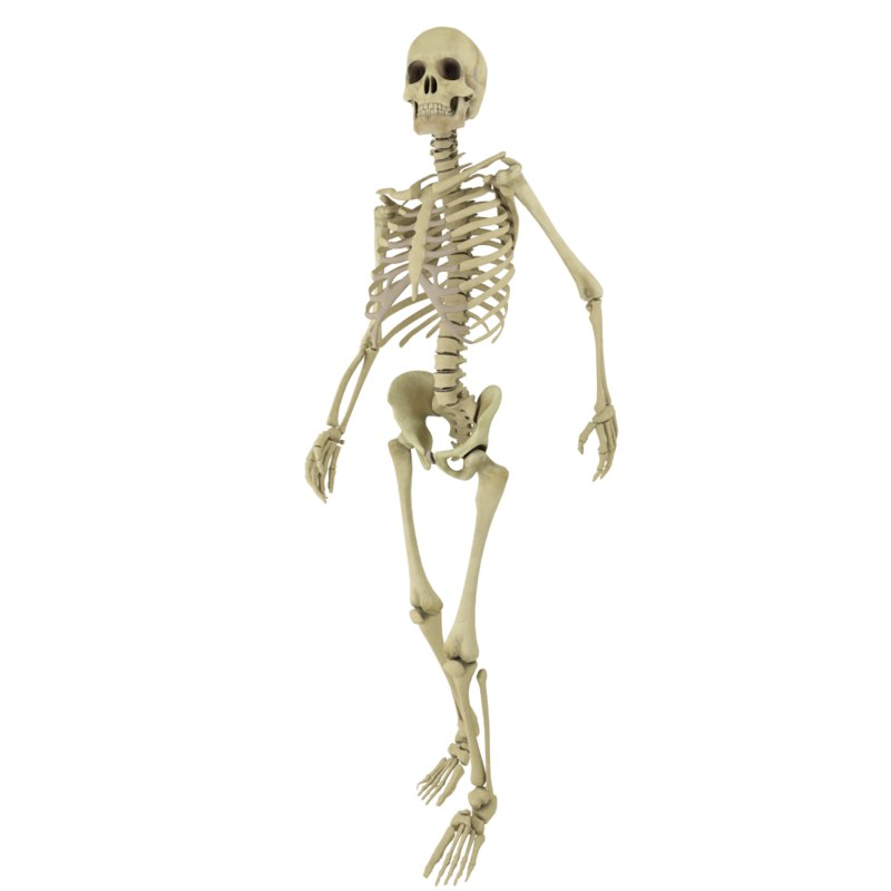 Entries 51 Human Skeleton Png | WSOURCE
