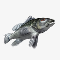 black sea bass 3d max