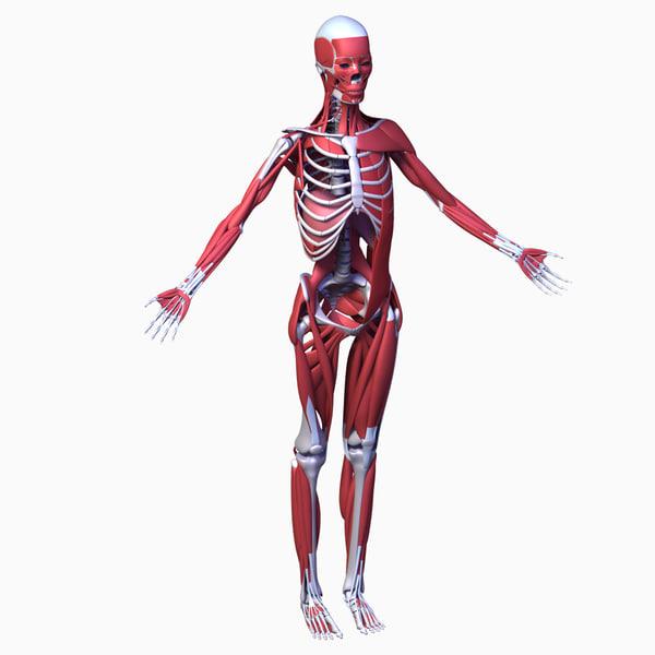 Female anatomy 3d