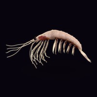 3d model northern krill