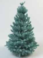 fir spruce picea