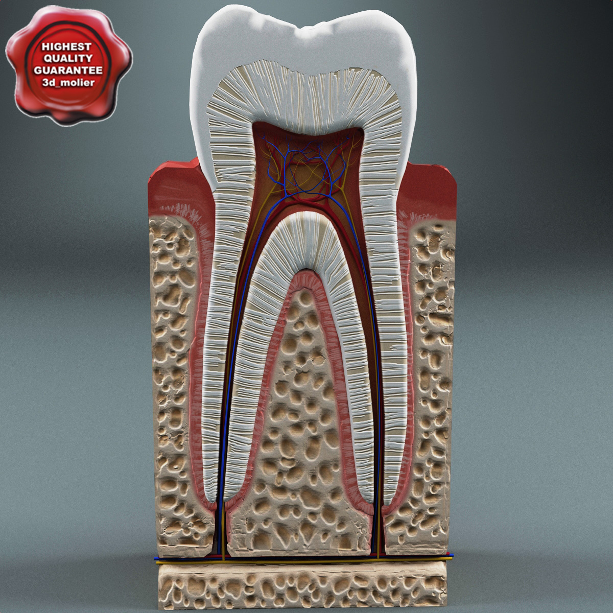 Tooth_Anatomy_00.jpg