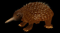 echidnas spiny anteaters ants 3d model