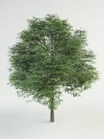 juglans nigra 3d max