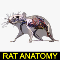 anatomy rat 3d model
