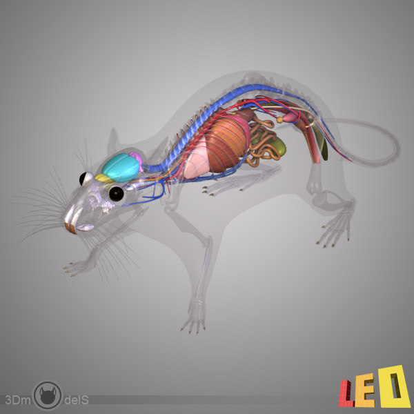 Contemporary 3d Rat Anatomy Inspiration Anatomy And Physiology