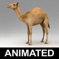 Dromedary camel animated