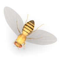 3ds max drosophila melanogaster
