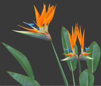 Strelitzia Bird of Paradise