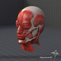 human facial muscle structure 3ds