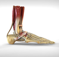 3ds human male foot bone