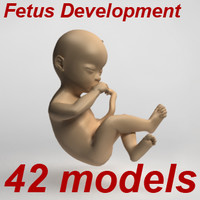 3d 42 fetus development ovary