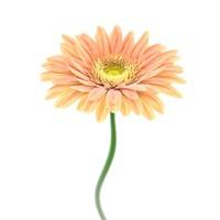 maya flower gerbera