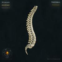 human vertebral column vertebra 3d max