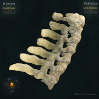 Vertebral Column Cervical