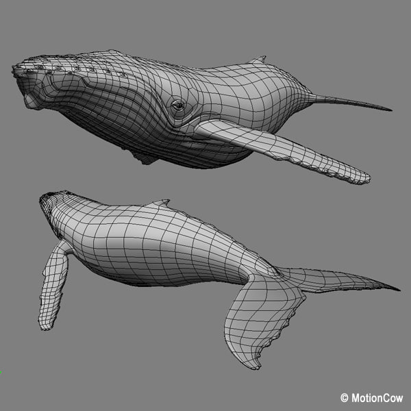 humpback whale hump 3d model - Humpback Whale... by MotionCow