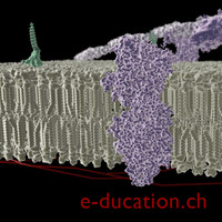 3d biological membrane transport