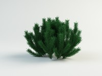 3d model pinus mugus