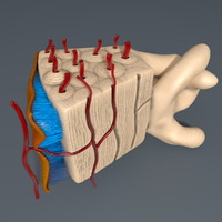 human bone 3d c4d