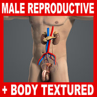 Male Reproductive, Urinary, Endocrine Systems and Body Anatomy V04 (Textured)