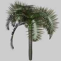 c4d palm archontophoenix