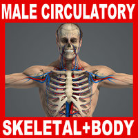 Male Circulator, Skeletal System & Body Anatomy V04 (Textured)