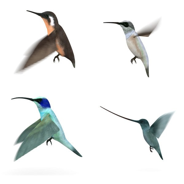 colibri birds